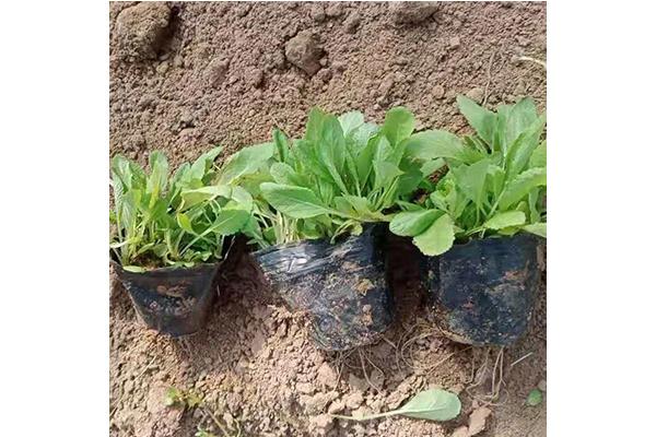 安徽鼠尾草種子批發