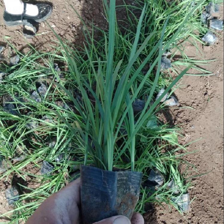 河南綠化麥冬報價,闊葉麥冬供應