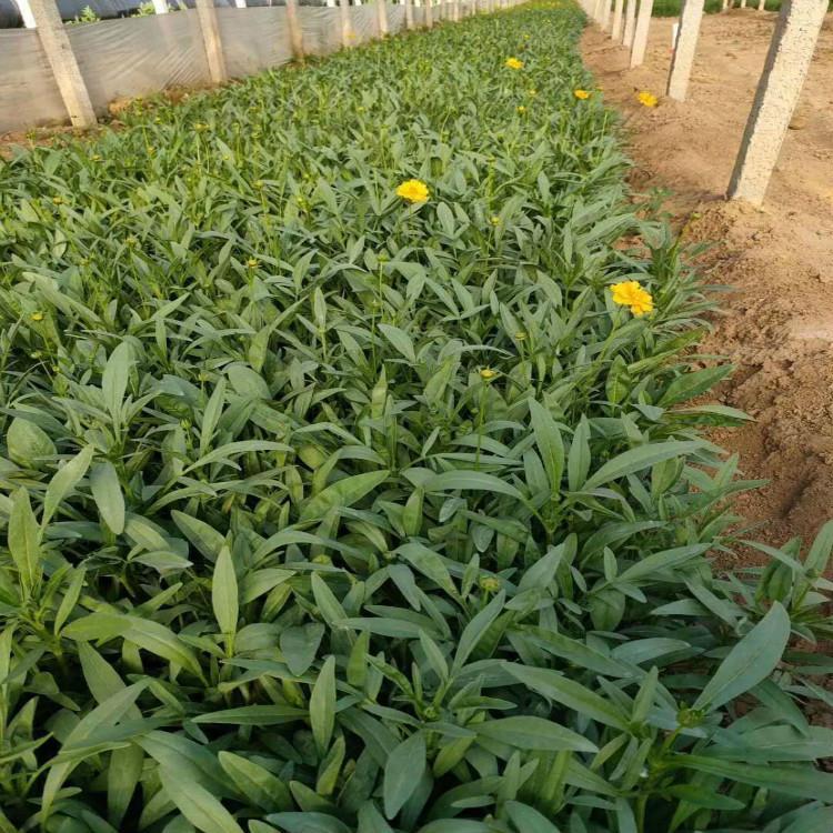 潍坊两色金鸡菊供应商,金鸡菊幼苗多少钱