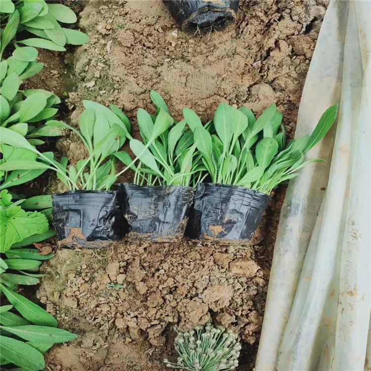 这样养护天人菊,一年四季都可开花