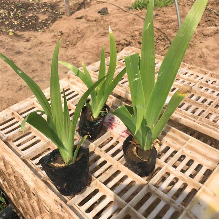 吉林鸢尾杯苗种植