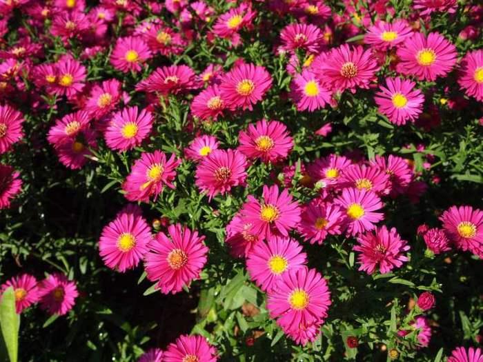 荷兰菊供应,荷兰菊种植基地,荷兰菊基地
