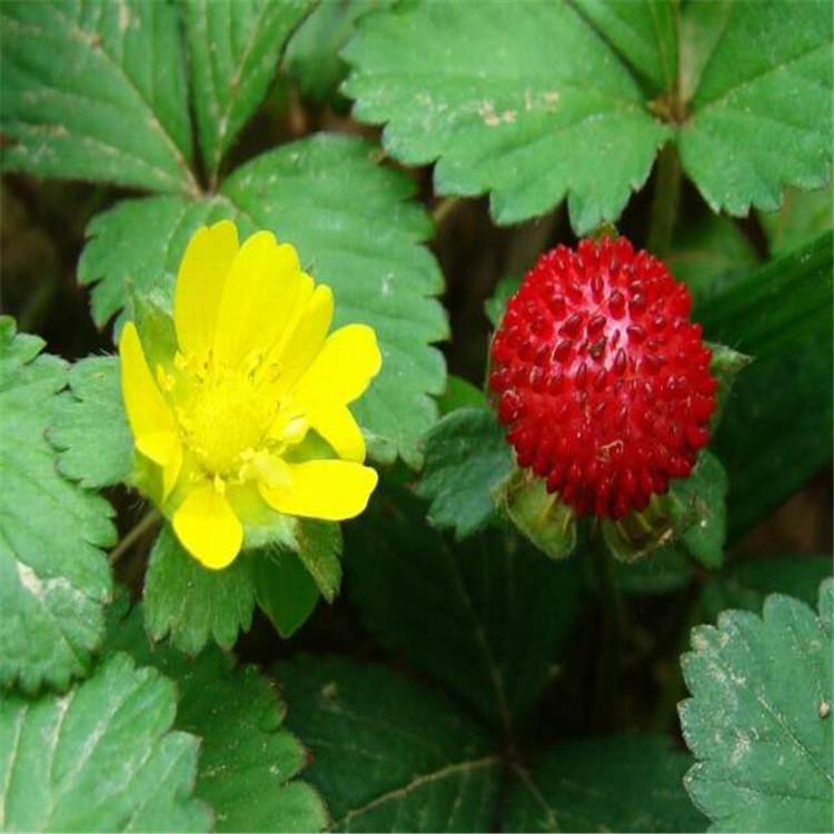 烟台蛇莓幼苗租摆