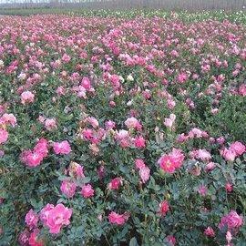丰花月季价格,丰花月季种植,丰花月季