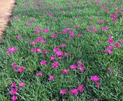 绿化用地被草花,地被草花种植基地,地被草花