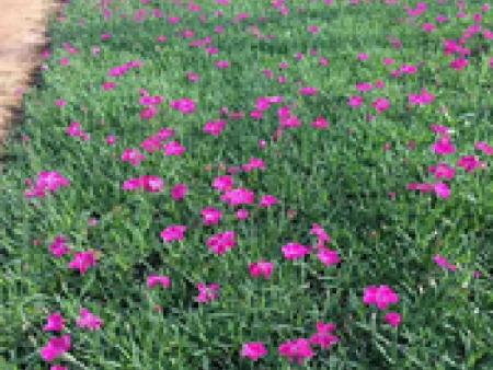 【度娘告诉你】绿化用地被草花,地被草花种植基地