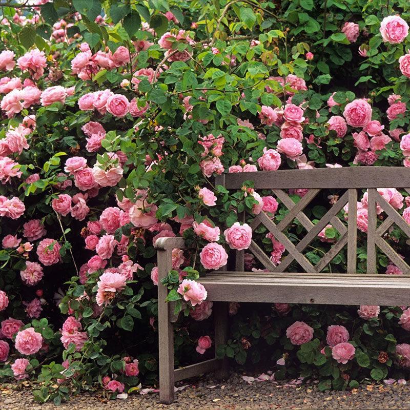 四季蔷薇培育基地,四季蔷薇哪里有,四季蔷薇批发