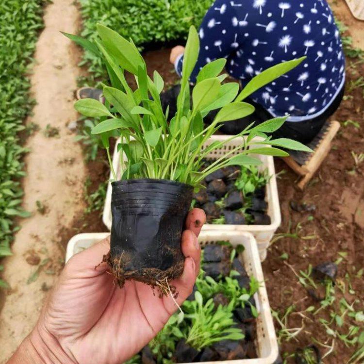 金鸡菊的栽培技术
