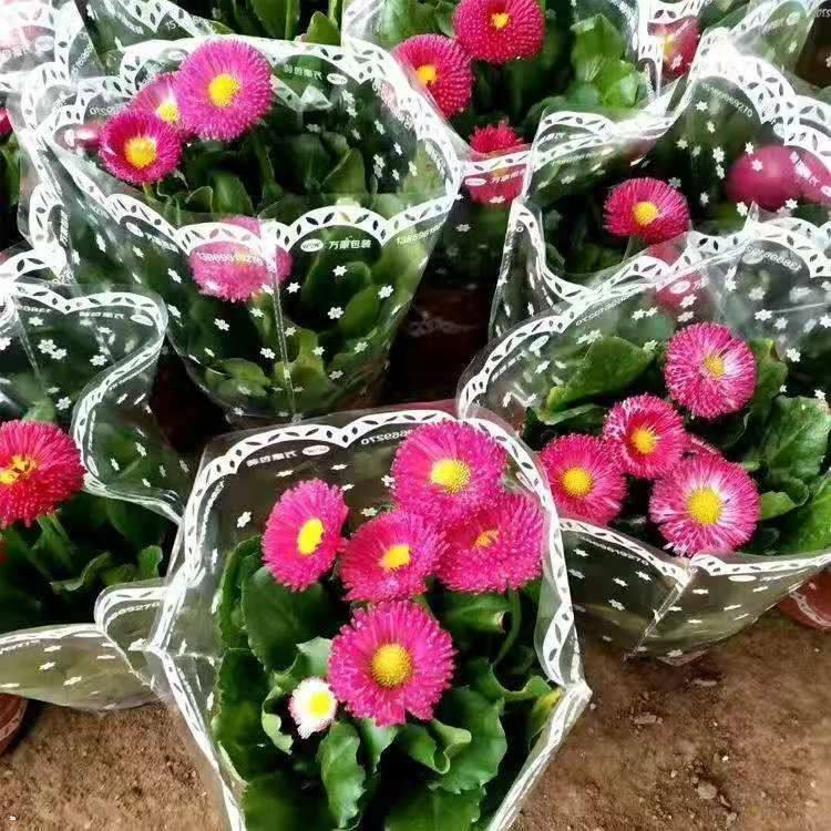 山西雏菊大量供应,雏菊盆栽苗哪里有
