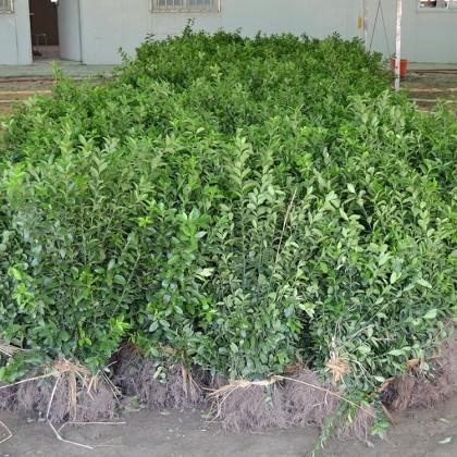 黄杨的扦插繁殖介绍