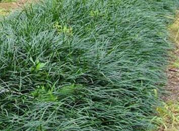 麦冬的种植介绍