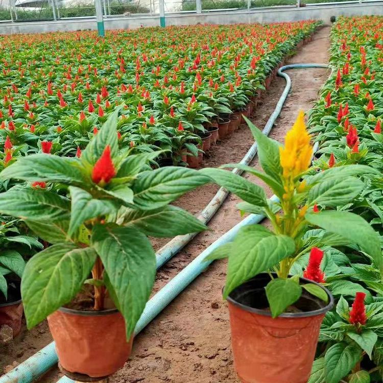 威海盆栽一支笔种植