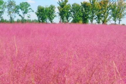 粉黛乱子草的种植步骤