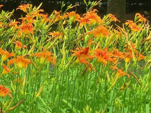 大花萱草的繁殖方法