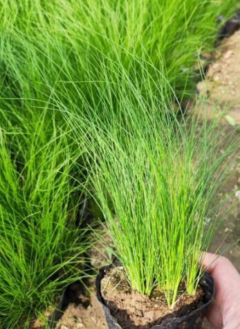 细茎针芒的形态特征以及生长环境