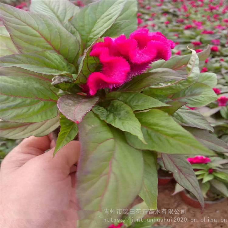 江苏鸡冠花育苗供应,鸡冠花盆景价格