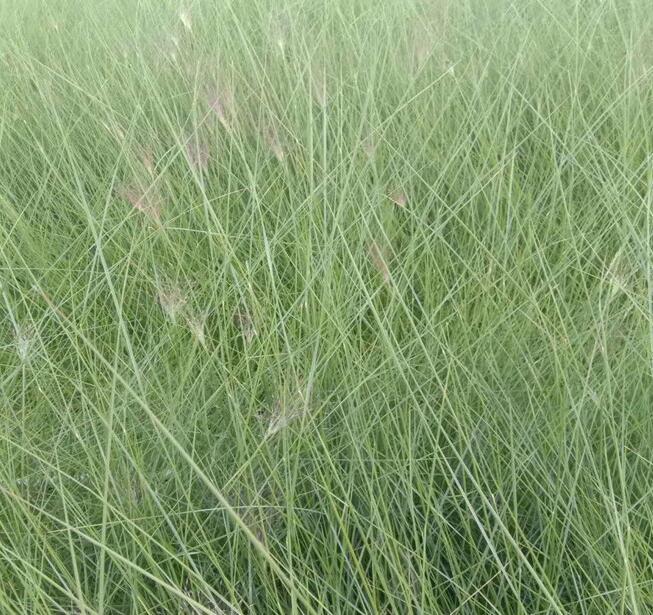 粉黛亂子草的養護方法