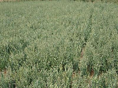 兰州专营燕麦种子-选种子高芽率生产批发厂家恒有农业-极速发货