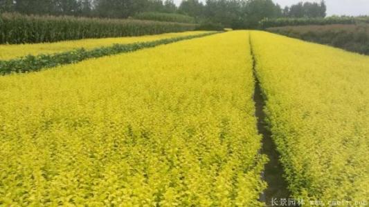 金叶女贞种植基地,优质的金叶女贞永胜花卉供应